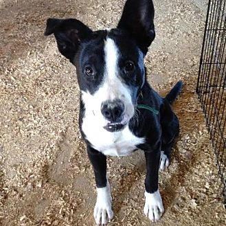 bull terrierborder collie mix dog for adoption in