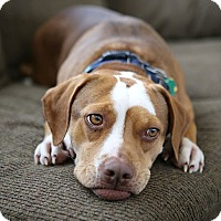 Adopt A Pet :: S'mores - Bristol, CT