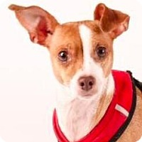 Chihuahua Mix Dog for adoption in San Ramon, California - Nana