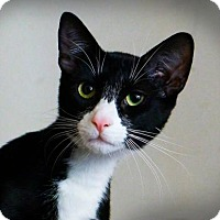 American Shorthair Cat for adoption in Staten Island, New York - Pepe
