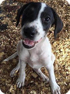 Shepherd (Unknown Type)/Hound (Unknown Type) Mix Puppy for adoption in PLAINFIELD, Indiana - Gladys