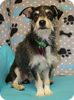 Dachshund/Terrier (Unknown Type, Medium) Mix Dog for adoption in Winters, California - Max
