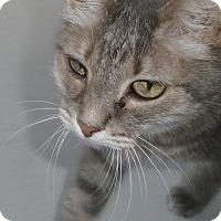 Domestic Shorthair Cat for adoption in Georgetown, Texas - Chloe