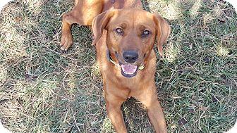 Redbone Coonhound/Labrador Retriever Mix Dog for adoption in Spring Valley, New York - Darla (ETAA)