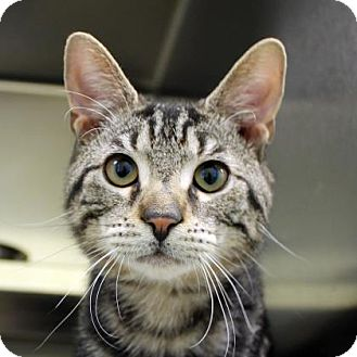 Domestic Shorthair Cat for adoption in Richmond, Virginia - Zobrist