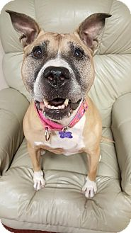 Pit Bull Terrier Mix Dog for adoption in Fargo, North Dakota - Cora