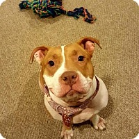 Pit Bull Terrier Mix Dog for adoption in Rowayton, Connecticut - Athena Teddy Bear of a Girl Needs rehoming