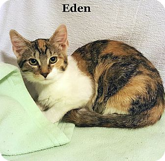 Calico Cat for adoption in Bentonville, Arkansas - Eden 2