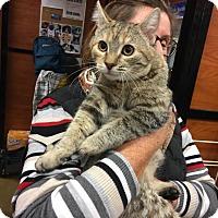 Maine Coon Kitten for adoption in Rocklin, California - Yente
