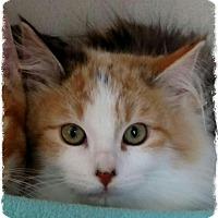 Adopt A Pet :: Sugar - Pueblo West, CO