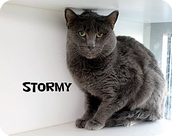 Domestic Mediumhair Cat for adoption in Edgewood, New Mexico - Stormy