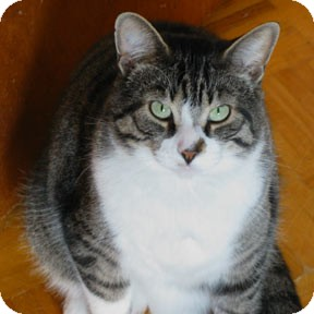 Domestic Shorthair Cat for adoption in Verdun, Quebec - Romeo