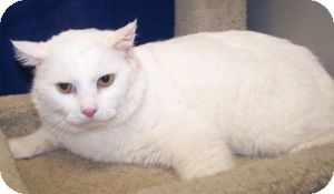Domestic Shorthair Cat for adoption in Colorado Springs, Colorado - Ghost