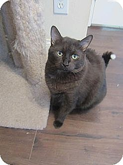 Domestic Shorthair Cat for adoption in St. Cloud, Florida - Tipper