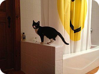 Domestic Shorthair Kitten for adoption in Portland, Maine - Margie
