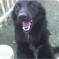 Adopt A Pet :: BLACKIE - Fowler, CA
