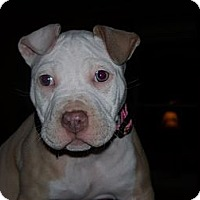 Adopt A Pet :: Peyton - Woodbridge, CT