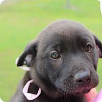 Adopt A Pet :: Fenta - Brattleboro, VT