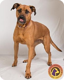 Shepherd (Unknown Type)/Black Mouth Cur Mix Dog for adoption in Fort Myers, Florida - Lilly