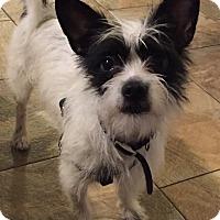 Adopt A Pet :: Oriyo - Plainfield, IL