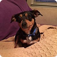 Adopt A Pet :: Beenie - Marietta, GA