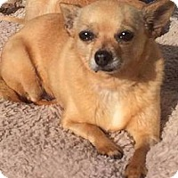 Chihuahua Dog for adoption in Fullerton, California - Gina