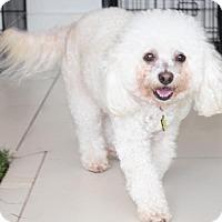 Adopt A Pet :: PIPPIN - Beverly Hills, CA