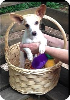 Jack Russell Terrier/Chihuahua Mix Dog for adoption in Atlanta, Georgia - Jack