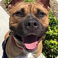 Presa Canario Mix Dog for adoption in San Diego, California - Blake