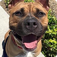 American Staffordshire Terrier Mix Dog for adoption in San Diego, California - Blake