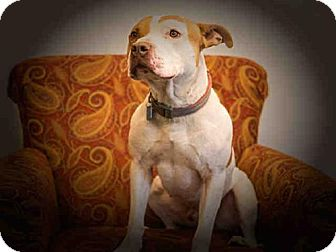 Pit Bull Terrier Dog for adoption in Frisco, Colorado - KASE