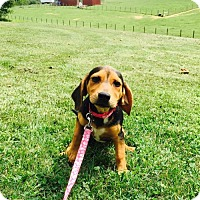 Adopt A Pet :: Rosie Jetson - Columbia, MD