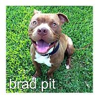 Adopt A Pet :: Brad Pit - Dallas, TX