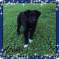 Adopt A Pet :: Apollo - Genoa City, WI