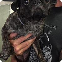 Pug Dog for adoption in Gardena, California - Stella