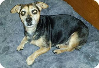 Beagle/Chihuahua Mix Dog for adoption in Iroquois, Illinois - Little Bear