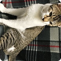 Domestic Shorthair Cat for adoption in Watauga, Texas - Memphis