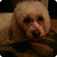 Poodle (Toy or Tea Cup) Dog for adoption in Cerritos, California - Lucille
