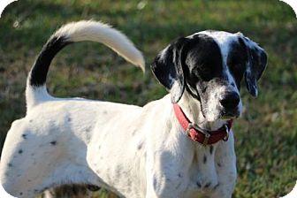Pointer Dog for adoption in New Smyrna beach, Florida - Lance