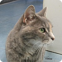 Domestic Shorthair Cat for adoption in Jackson, New Jersey - Venus