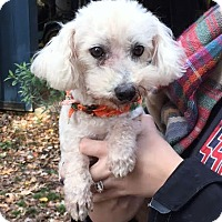 Bichon Frise Mix Dog for adoption in Chicago, Illinois - Ned - cutest ever