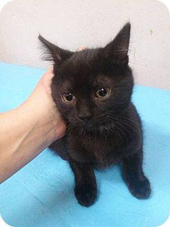 Domestic Mediumhair Kitten for adoption in Northfield, Ohio - Meg