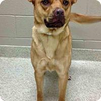 Adopt A Pet :: Joy - Shorewood, IL