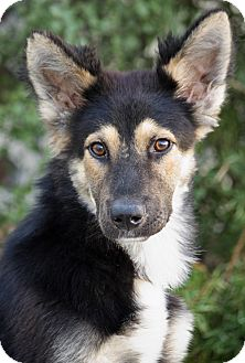 German Shepherd Dog Mix Dog for adoption in Los Angeles, California - Tovi von Torgau