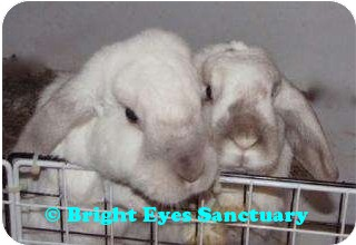 Mini Lop Mix for adoption in Rockville, Maryland - Graham&Pepper