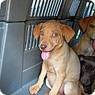 Adopt A Pet :: 2 golden Weimaraner's