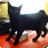 Manx Cat for adoption in Devon, Pennsylvania - Stormy