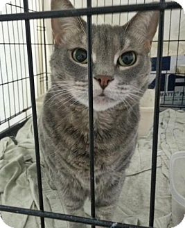 Domestic Shorthair Cat for adoption in Orange City, Florida - Gracie Destiny