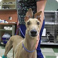 Adopt A Pet :: Farah - Tucson, AZ