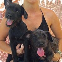 Adopt A Pet :: MICKEY & MINNIE - Sun Valley, CA